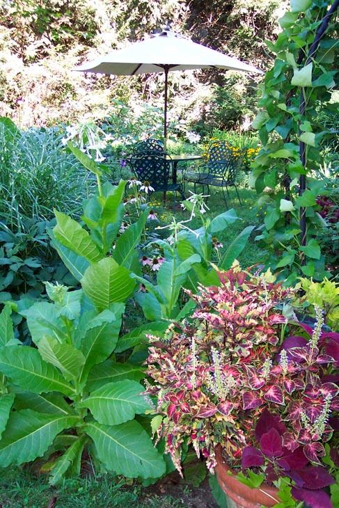 Garden View w/ Nicotiana & Coleus