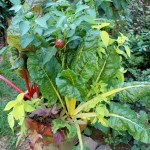 Pot w/Chard, Pepper & Ipomea