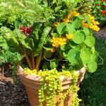 Pot w/Chard & Nasturtiums