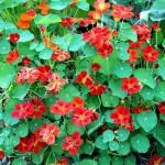 Red Nasturtiums